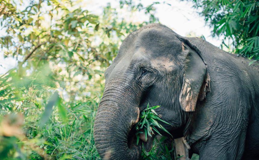 MAe Bounma elephant eating at the mekong lephant park pakbeng laos
