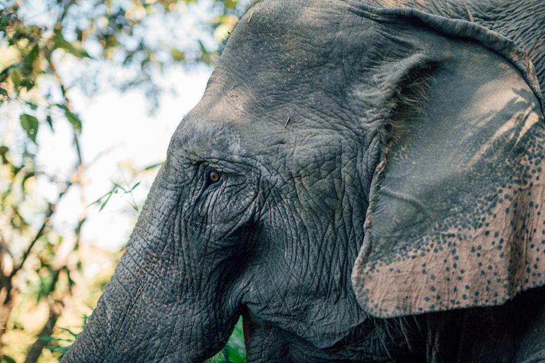 Mae Bounma - Elephant in MEP - Laos